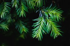 Close-up of pine tree leaves on black background. Close-up of green pine tree leaves on black background Royalty Free Stock Photo