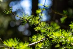 Close up of a pine tree royalty free stock photo