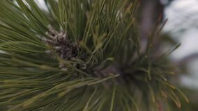 Close up of pine tree needles, background with copy space. Close up of pine tree needles, snow on background with copy space stock video footage
