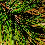 Close up of pine tree needles Royalty Free Stock Images