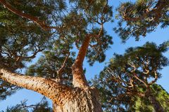 Close-up of a pine tree with relief bark and lush greenery against a clear blue sky.  royalty free stock images