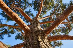 Close-up of a pine tree with relief bark and lush greenery against a clear blue sky. Good for abstract work stock photography