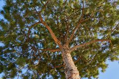 Close-up of a pine tree with relief bark and lush greenery against a clear blue sky. Good for abstract work royalty free stock images