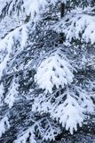 Pine tree covered in snow close up Royalty Free Stock Photography