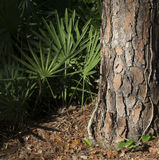 Close up of a pine tree trunk and Fan palm green leaf in a forest stock images