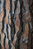 Close-up of a pine tree trunk showing its wood texture. Space to write texts and designs. Close up of tree trunk and its textured bark royalty free stock image