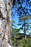 Close up of pine tree. The trunk of a pine tree with trees in background Stock Images