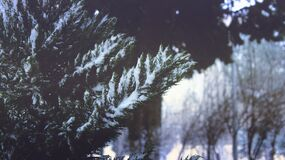 Close-up of Pine Trees in Forest during Winter royalty free stock photo