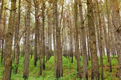 Close up of pine trees in the mountains of Panama royalty free stock photos