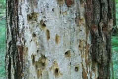 A close up of a pine trunk, eaten by bark beetles, Moscow region Royalty Free Stock Image