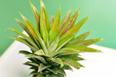 Close-Up of Pineapple Leaves Royalty Free Stock Images