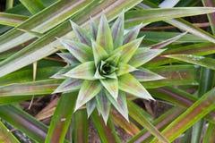 Close-up of pineapple sucker Stock Image