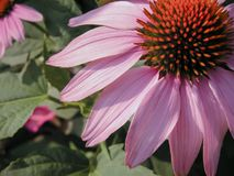 Pink African Daisy close up Royalty Free Stock Image