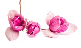 Free Close Up Pink And Purple Tree Branch With Chinese Magnolia Flowers Isolated On White Background Royalty Free Stock Photography - 113772467