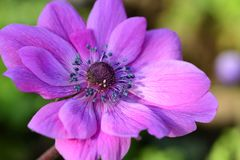 Anemone flower. Close up of a pink anemone flower in bloom royalty free stock images