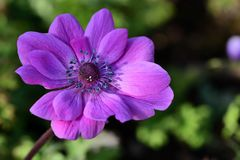 Anemone flower. Close up of a pink anemone flower in bloom royalty free stock photography