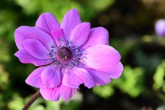 Anemone flower. Close up of a pink anemone flower in bloom stock photo