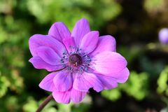 Anemone flower. Close up of a pink anemone flower in bloom stock photography