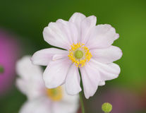Close-up of a pink anemone flower Stock Photos