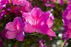 Close-up of pink of azalea. Stock Photo