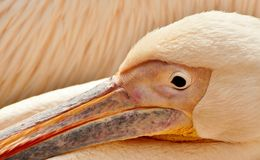 Pink-backed pelican. Close up of a pink-backed pelican stock photography