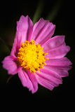 Close up of pink beauty cosmos flower over dark tone. Low key pi Royalty Free Stock Photos