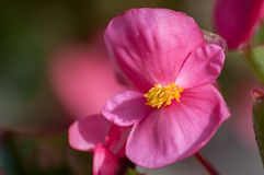 Close-up of pink Begonia L. flower in bloom stock photos