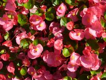 Pink Begonia flowers in the sunshine. A close up of pink begonias in the sunshine with green foliage Stock Photography