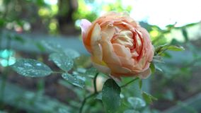 Close up of pink and beige rose on bush in english garden Green nature background with place for text Summertime Stock Photo