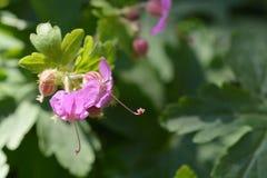 Bigroot geranium. Close up of pink bigroot geranium flowers - Latin name Geranium macrorrhizum royalty free stock photos
