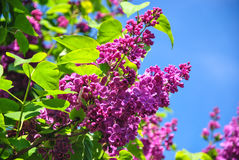 Close-up of pink blooming lilac branch at botanical garden Royalty Free Stock Photos