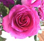 Close up of pink blooming rose Stock Images