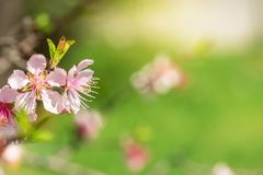 Close up of Pink Blossom Cherry Tree Branch, Sakura Flowers. Close-up of beautiful vintage sakura tree flower cherry blossom in spring. vintage color tone style Stock Image