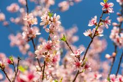 Close up of Pink Blossom Cherry Tree Branch, Sakura Flowers. Close-up of beautiful vintage sakura tree flower cherry blossom in spring. vintage color tone style Stock Photo