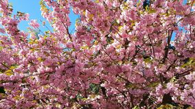 Close up of Pink Blossom Cherry Tree Branch, Sakura, during Spring Season on Pink Background. Beautiful Nature Scene with Blooming Tree and Sun Flare. Light stock video footage
