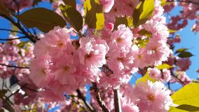 Close up of Pink Blossom Cherry Tree Branch, Sakura, during Spring Season on Pink Background. Beautiful Nature Scene with Blooming Tree and Sun Flare. Light stock footage