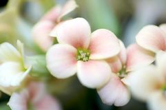 Kalanchoe. Close up of a pink blossom - Kalanchoe Royalty Free Stock Image