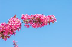Close-up of pink blossom of malus profusion. Close-up of pink blossom of malus profusion in spring time royalty free stock photos