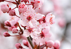 Close up of pink blossom. On tree Stock Image