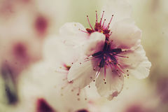 Close up of Pink Blossom. Blossom tree in full bloom in spring Stock Photos