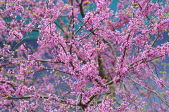 Close up of pink blossoming Cercis siliquastrum tree Stock Photo