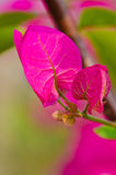 Close up of pink bougainvillea flower Royalty Free Stock Images