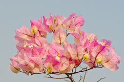 Close up of pink bougainvillea flower Stock Photos