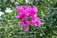 Close-up Pink Bougainvillea Flowers. Full Frame Background of Pink Bougainvillea Flowers Stock Photography