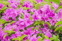 Close up the pink bougainvillea with the green leaf. Nature background Royalty Free Stock Photo