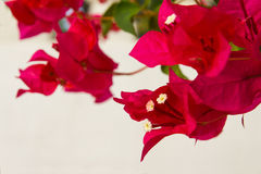 Close up of pink bougainvillea Stock Photography