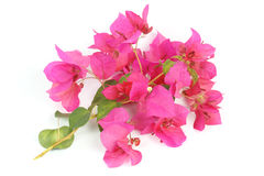 Close up Pink bougainvillea Stock Photography