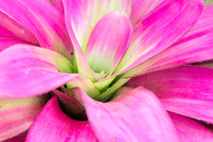 Close up of pink bromeliad background Royalty Free Stock Images