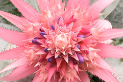 Close up Pink bromeliad flower  (Aechmea fasciata, Bromeliaceae) Stock Photography