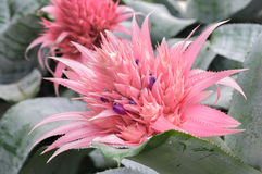 Close up Pink bromeliad flower  (Aechmea fasciata, Bromeliaceae) Royalty Free Stock Photo